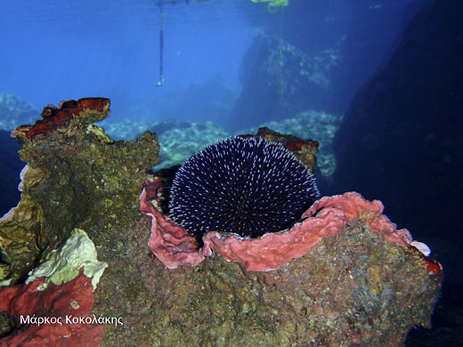 Sea Urchin Wall Decor