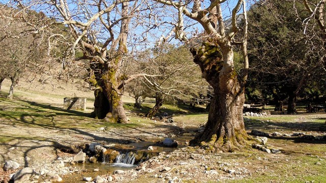 The ancient plane trees of Rouvas